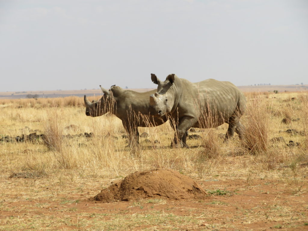 Photo of rhino cow MW2(57) and her 34 month old male calf.