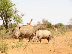 White rhino cow and calf walking with giraffe in the background