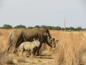 White rhino cow and calf standing in  long dry grass.