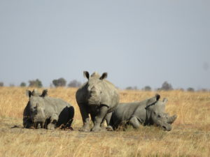 Three white rhino relaxing on vast open grass fields in the North West Province of South Africa