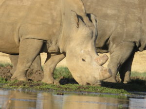 White rhino drinking water at a dam